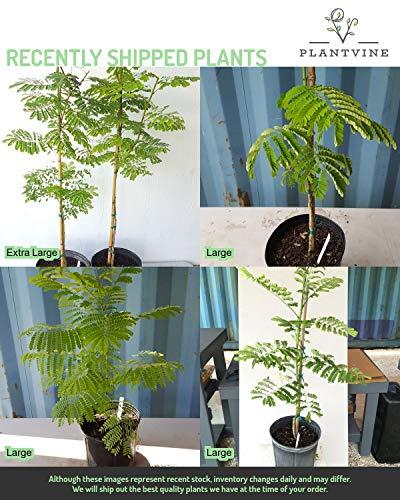 PlantVine Caesalpinia pulcherrima, Dwarf Poinciana, Pride of Barbados - Extra Large - 12-14 Inch Pot (7 Gallon), Live Plant by PlantVine (Image #4)