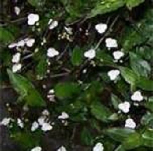 tahitian-bridal-starter-plant