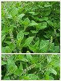 Homegrown Basil Seeds, 1000 Seeds, Tulsi Basil, Holy Basil