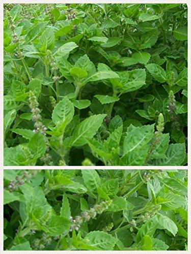 Homegrown Basil Seeds, 1000 Seeds, Tulsi Basil, Holy - Basil Seeds Holy