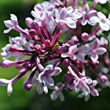25 Seeds of Littleleaf Lilac / Syringa Microphylla