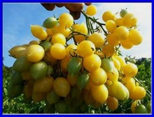Barry's Crazy Cherry Tomato Seeds - Massive Clusters Comb. S/H See our store! ()