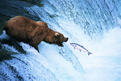 Jumping Salmon - Grizzly Bear Feeds on a Jumping Salmon in Alaska Photo Art Print Poster 18x12 inch