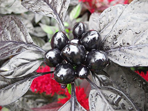 Black Pearl Ornamental Pepper (20 SEEDS) The first-ever black-leafed Pepper! Pearl Pepper
