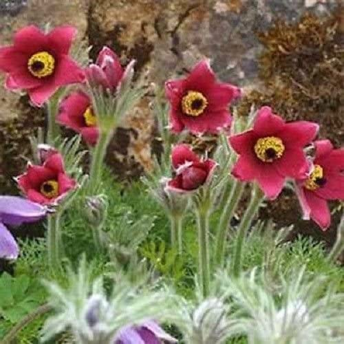 Amazon Com 25 Anemone Pulsatilla Red Flower Seeds Pasque Deer