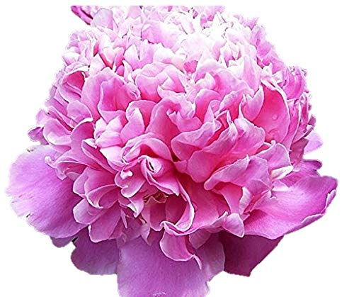 Mons. Jules Elie Peony/Peonies - 3-5 Eyes - Heavy Potted - Perennial - Each 1 Gal by Growers Solution