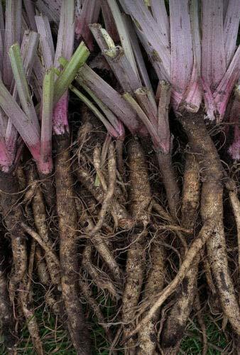 Burdock Takinogawa 10 Seeds Edible GOBO Medicinal Kimpira 3-4' Roots