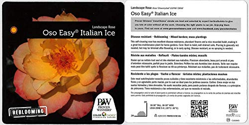 Proven Winners - Rosa OSO EASY Italian Ice (Rose) Rose, yellow w/pink, #2 - Size Container by Green Promise Farms (Image #4)