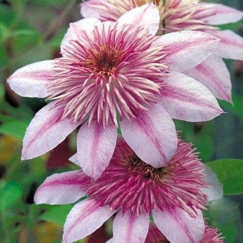 25 Doble Rosa Clematis Seeds grande Bloom trepadora perenne del jardín de flores: Amazon.es: Jardín