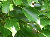 trident maple tree 20 TRIDENT MAPLE SEEDS - Acer buergerianum