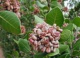 10 Seeds Rhus integrifolia Lemonade Berry Ornamental Tree