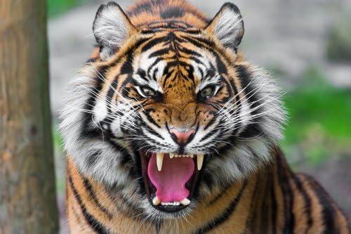 Amazon.co.jp: 凶暴な虎動物の写真 キャンバス印刷アートポスター ...