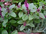 "Blue Moon Basil - Perennial - The Best Indoor BasilLive Plant - 3"" Pot -"