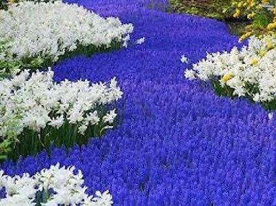 Amazon hyacinth grape bulbs 6 blue flowers spring planting hyacinth grape bulbs 6 blue flowers spring planting mightylinksfo