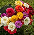 David's Garden Seeds Flower Zinnia Giant Dahlia Flowered Mix Heat Tolerant D1879 (Multi Color) 500 Open Pollinated Seeds