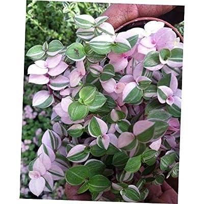 CKG 1 Pcs Plant Tri Color Bolivian Jew Or Turtle Vine (Callisia Repens 'Variegated') - 213EB : Garden & Outdoor