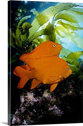 Dave Fleetham Premium Thick-Wrap Canvas Wall Art Print entitled California, Garibaldi (Hypsypops Rubicundus) In Kelp Forest (Macrocystis Pyrifera) - Sunburst Leafy Greens