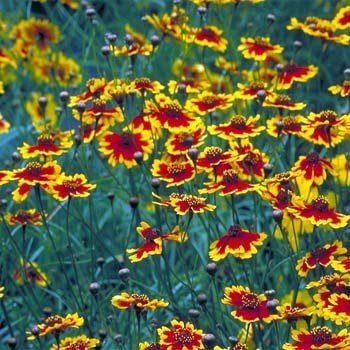 Amazon coreopsis sterntaler golden yellow petals with red outsidepride coreopsis plains 5000 seeds mightylinksfo
