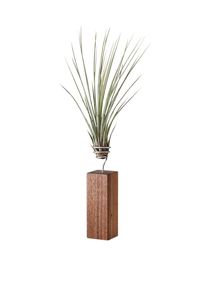 EVRGREEN Luftpflanzen Tisch-Deko Tillandsie mit Design Nuss-Baum-Holz Halter Pflegeleichte Pflanze für Innen - L