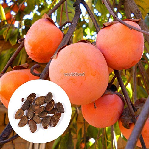 (10 pcs/Bag: Home Garden Plant Seeds Delicious Persimmon Tree diospyros Fruit Seeds WST)