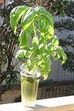 家庭用 ハーブの水耕栽培キット「窓際族」(窓辺でバジル)