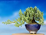 An OLD Juniper Bonsai Tree in Blue (Japanese Bouru Style) Container