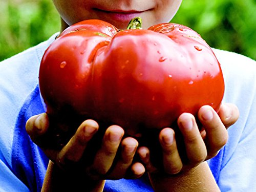 *MONSTER TOMATO* 5 SEEDS **GIANT FRUIT!! #1155 (Tomato Giant)