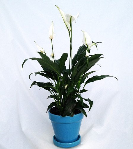 Peace Lily - 9