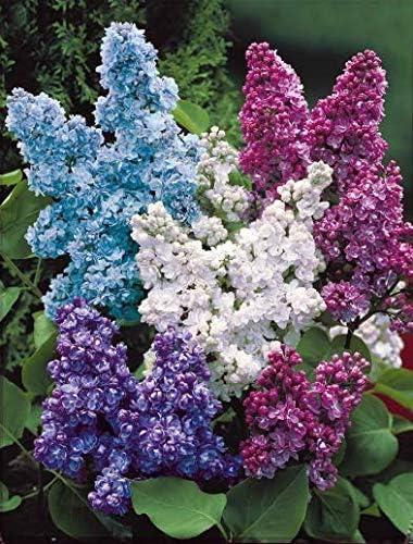 50pcs Lilas double blanc//bleu//rouge Risitar Graines d/élicieusement parfum/ées Syringa vulgaris Arbres et arbustes Grain/é fleur jardin Plantes vivaces r/ésistante au froid