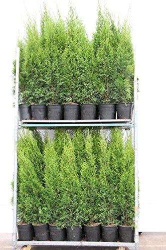 Berühmt 6 Thuja Pflanzen Smaragd im Topf, Thuja Smaragd, Höhe: 110-120 cm #NU_33