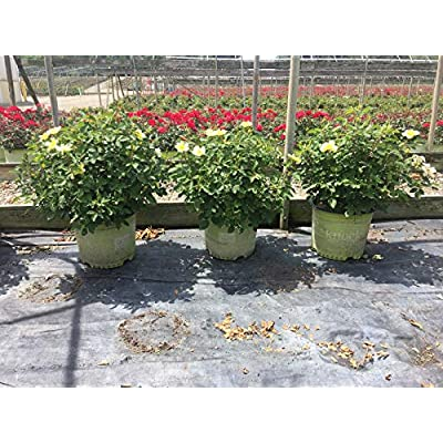 Star Roses Knockout Series 11892 Sunny Knockout Rose, 3 Gallon, Yellow : Garden & Outdoor