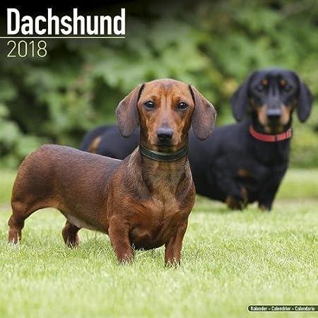 Dachshund Calendar - Dog Breed Calendars - 2017 - 2018 wall Calendars - 16 Month by Avonside