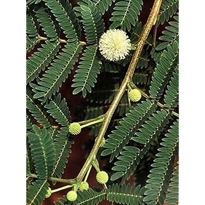 Cheap Fresh Tree Seeds Leucaena Leucocephala Lead Get 5 Seeds Easy Grow #GRG01YN : Garden & Outdoor
