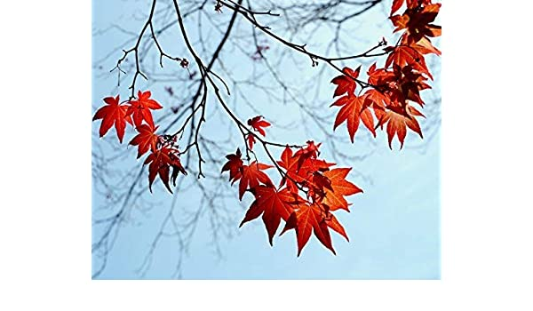 Amazon Com Red Maple Tree Leaves Autumn Photographic Print Nature Fall Wall Art Decor Tree Branch Picture Botanical Print From 5x7 To 18x24 Handmade