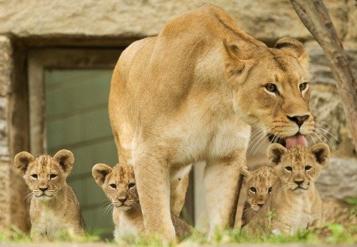 LION FAMILY GLOSSY POSTER   jungle cat cubs lioness mom pride