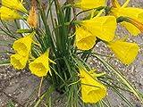 15 x Fresh Seeds: Narcissus bulbocodium conspicuus (Large) x 15 Fresh Seeds