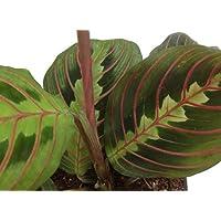Hirt's Red Prayer Plant - Maranta - Easy to Grow House Plant - 3.5