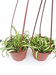 *Two Bonnie Curly Spider Plant Easy Cleans the Air - 4\
