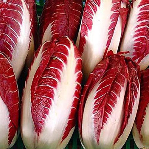 25 Seeds Radicchio Seeds, Rossa Di Treviso -Deep Brilliant Red- Flavorful Bite to Salads! (Rossa Seeds)