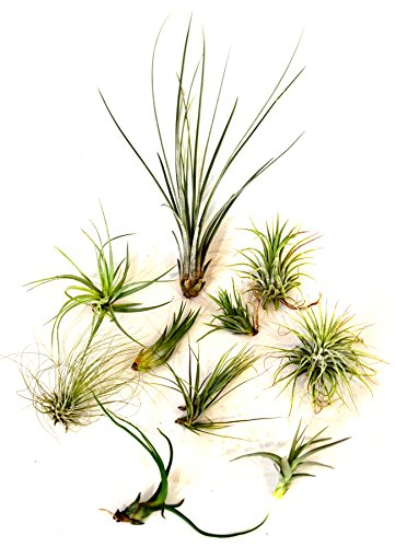 Live Air Plant 10 Set - 10 x Bromeliad Tillandsia Air Plants Live Plant Ornament Decor for Home, Kitchen, Office, Table, Desk - Attracts Zen, Luck, Good Fortune - Non-GMO, Grown in the USA (Air Plants Of Care Taking)