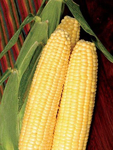 Bodacious RM Hybrid Sweet Corn 1/4 LB ~508 seeds (Corn Seed Hybrid)