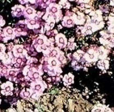 Dianthus - Allwoodii Alpinus - 50 Seeds