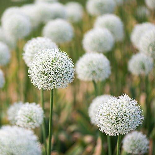 Allium Mount Everest Pack of 5 Bulbs Size 18//20