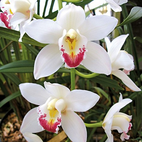 CYMBIDIUM HIGH HOPES 'EVERGLADES' 4N X CYMBIDIUM HARRIET ISHITANI 'TARHEEL'