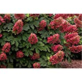 Ruby Slippers Oakleaf Hydrangea - Hardy Perennial Heavy Rooted - One Trade Gallon Pot - 2 Plant by Growers Solution