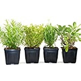 potted herb garden Organic Herbs De Provence Collection Rosemary, Lavender, Sage, Thyme 4 Live Plants