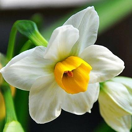 WuWxiuzhzhuo 400Pcs Narcisse parfumé Pastel Couleurs Mélangées Jonquille Printemps Plante Fleur Graines
