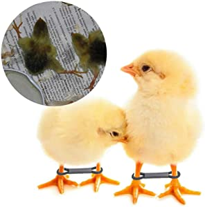 50 Pack Baby Chick Leg Hobbles Hobbling Chicken Hobble Braces for Spraddle Leg Repair of 1 to 3 Days Newly Hatched