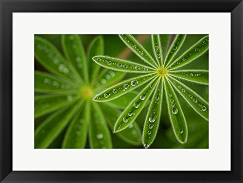 Great Art Now Pearly Lupine by Joshua Raif Framed Art Print Wall Picture, Black Frame, 25 x 19 inches (Lupine Solid Green)