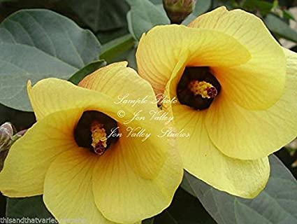 Amazon hibiscus tiliaceus sea hibiscus flower seeds bright hibiscus tiliaceus sea hibiscus flower seeds bright yellow flowers age to orange mightylinksfo